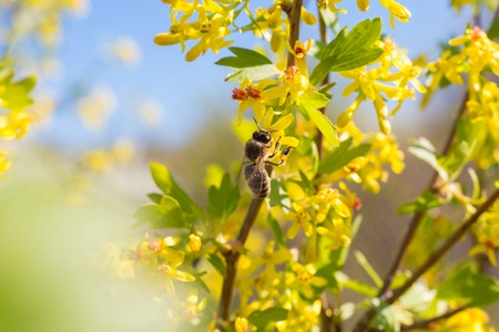 yellow blossom: Bee on a flower of the spring yellow blossoms tree Stock Photo