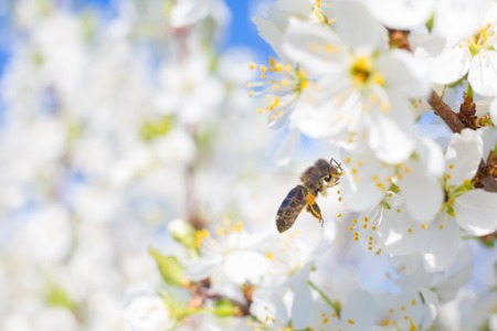blossoming yellow flower tree: Bee on a flower of the spring white blossoms tree Stock Photo