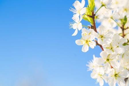 cherrytree: Cherry-tree blossoming over the blue sky background. Sakura