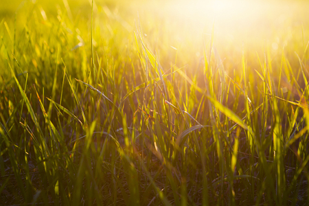 reveille: Yellow grass close up at sunrise or sunset with sun rays