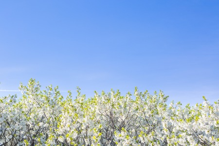 palate: Cherry-tree blossoming over the blue sky background. Sakura