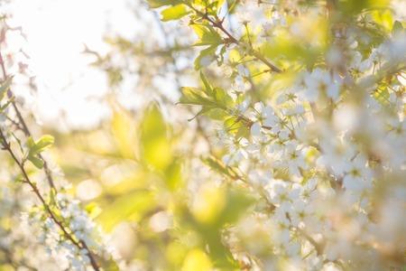 springtide: cherry blossom, Japanese spring scenics Spring flowers Spring Background