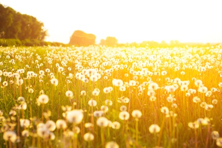 Green summer meadow with dandelions at sunset. Nature background. Sunset or Sunrise