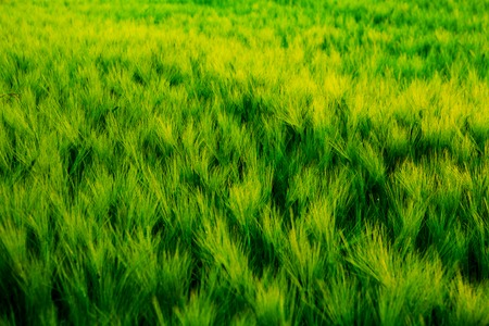 beautify: Green field of unripe wheat or rye. Nature background.