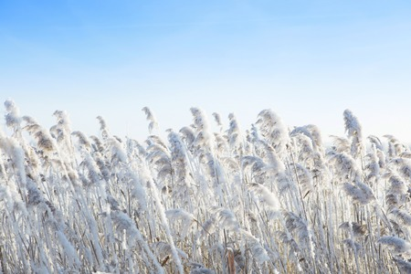 fluffy tuft: Reeds by the wind in winter. Frost dry grass over sky.