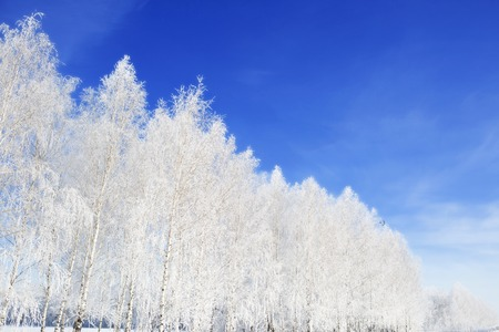 frosty: Frost on a Tree branches. Frosty winter day - snowy branch closeup. Christmas background. Stock Photo