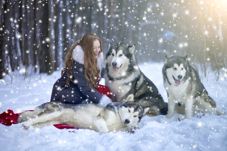 huskies: Attractive woman with the dogs. Huskies or Malamute. Christmas.
