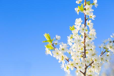 cherry blossom, Japanese spring scenics Spring flowers Spring Background
