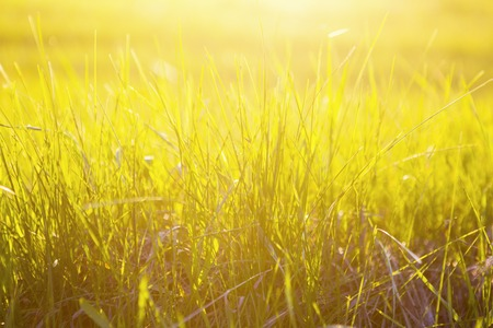 Yellow grass close up at sunrise or sunset with sun rays