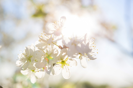 cherry blossom, Japanese spring scenics Spring flowers Spring Background
