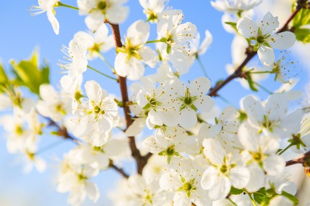 Cherry blossom on a blue sky background. Japanese spring scenics Spring flowers.