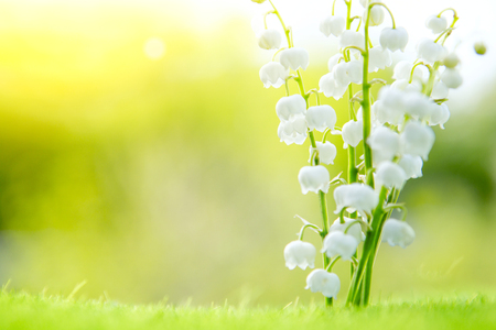 Lily of the valley. Nature flowers in sunny day. Stock Photo
