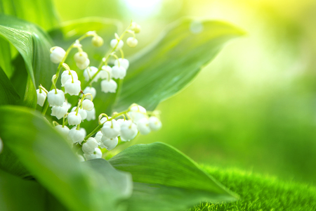 Spring flowers lilies of the valley in morning. Stock Photo