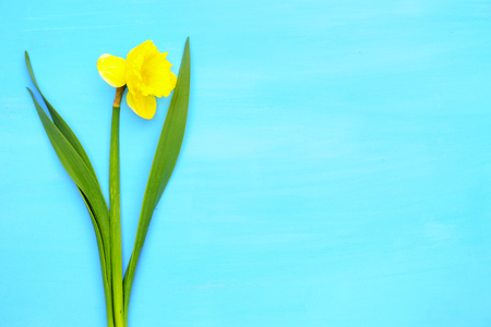 Spring yellow narcissus on blue painted wooden planks with space for text.