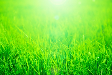 Fresh green grass in sunset with glow. Stock Photo