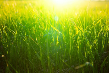 Nature background. Green grass on the field during sunset or sunrise. Banco de Imagens