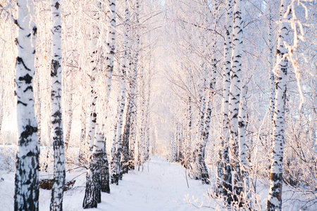 Snow covered trees in the forest. Winter landscape.