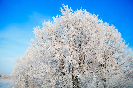 Snow and frost covered tree branches against blue sky.