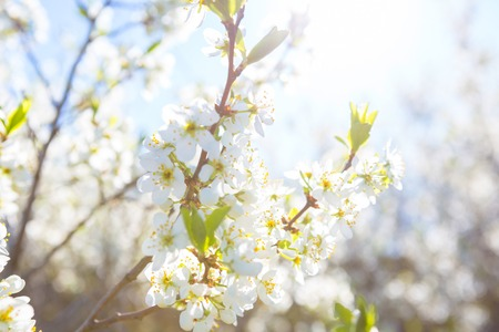 Photo of beautiful cherry blossom, abstract natural background, fine art, spring time season, apple blooming in sunny day, floral wallpaper, little white flowers on tree branch
