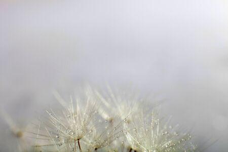 Macro Dandelion seeds. Dandelion seed with water drops. Stock Photo