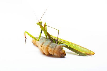 big green Mantis praying and eating Hawk-moth on white Archivio Fotografico