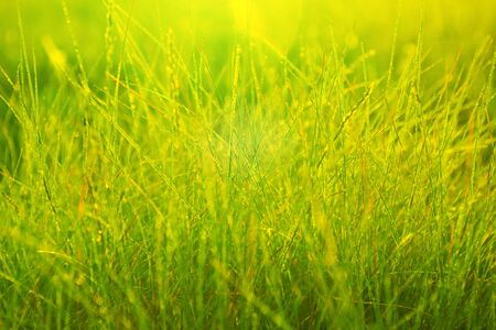 Morning dew in the rays of the rising sun and stems of grass. Morning fresh grass.
