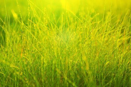 Rugiada mattutina nei raggi del sole nascente e steli d'erba. Mattina erba fresca.