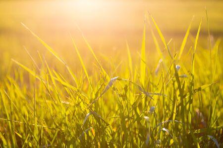 Grünes Gras hautnah bei Sonnenaufgang oder Sonnenuntergang mit Sonnenstrahlen