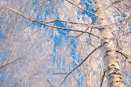 Close up of frozen branches and snow falling against blue sky. Reklamní fotografie