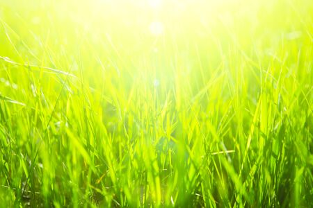 Fresh green grass in sunset with glow. Imagens
