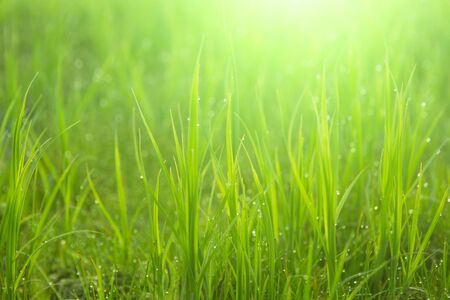 Close up fresh green grass with drops. Nature Background. Stock Photo - 150307258
