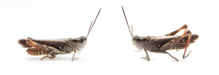 Grasshopper white background. Wildlife and nature concept. Banque d'images