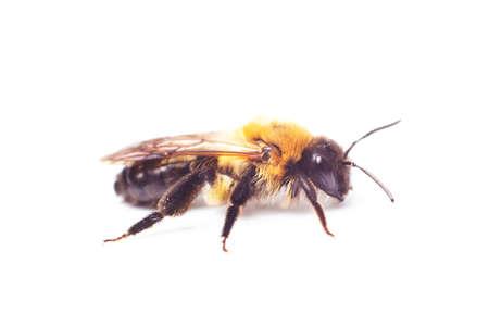 Honeybee Anthidium sticticum, Megachilidae isolated on a white background Standard-Bild