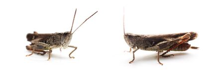 Grasshopper on white background. Wildlife and nature concept. Banque d'images