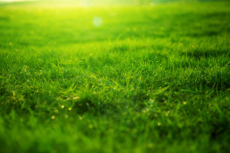 Spring fresh bright green grass at sunset on a warm sunny day. Background of a green grass. Green grass texture