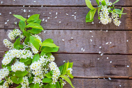 Branch of blossom bird cherry on aged textured boards wood.
