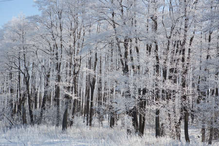 Frozen trees and branches . Beautiful white winter