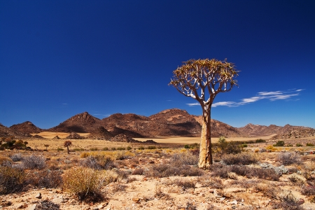 dichotoma: Quiver tree in the Northern Cape, South Africa
