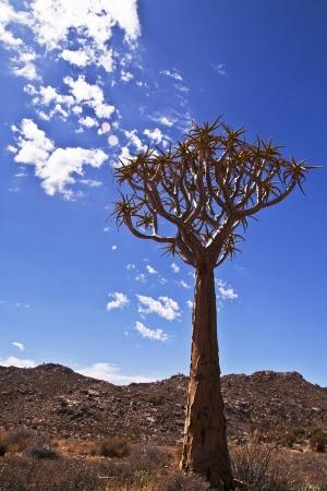 quiver: Portret stijl foto van een koker boom tegen een blauwe hemel