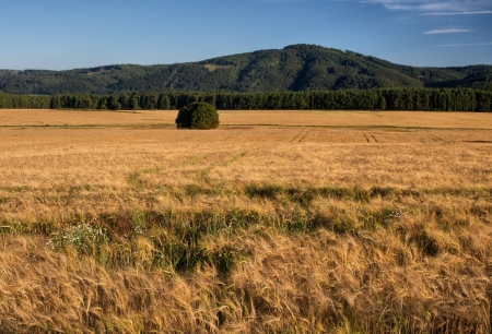 afield: Cornfield, lonely tree, in the background of forest and wooded mountain Stock Photo