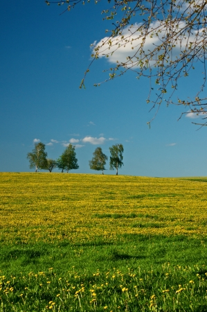 Meadow with blossoming dandelions, group of trees on the horizon, a white cloud in the blue sky photo