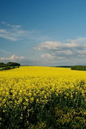 afield: Rape field in spring bloom, white clouds in the blue sky