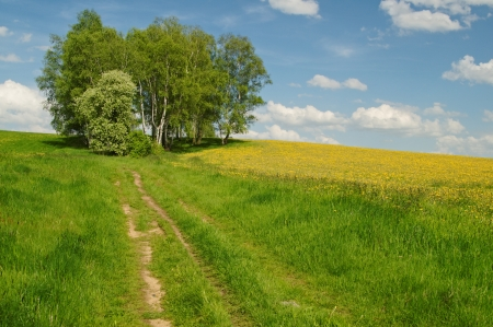 Dirt road to the birch grove on the horizon, blooming dandelions on the meadow  photo