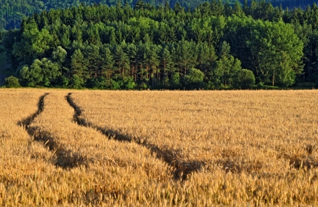 afield: Ruts in the field with ripe grain, forest in the background