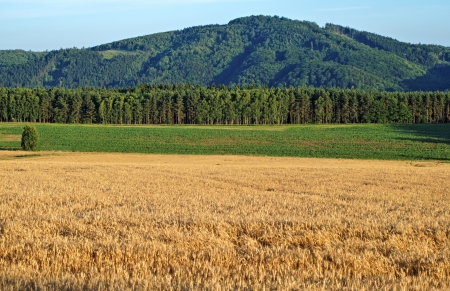 afield: The field is ripe grain, in the background of a green corn field, forest and forested mountain Stock Photo