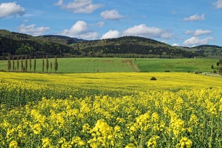 Geel bloeiend koolzaad veld in platteland. Groen veld, weide en beboste bergen op de achtergrond. Stockfoto