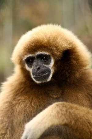 gibbon: Close-up of monkey in Thailand