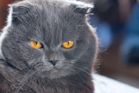plushy: scottish fold cat grey furry plushy Stock Photo