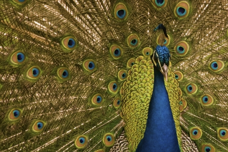 A peacock while opens its wings in a colorful picture Stock Photo