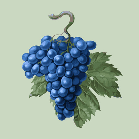 vector picture realistic. Cluster of black grapes with a leaf on a light background isolated
